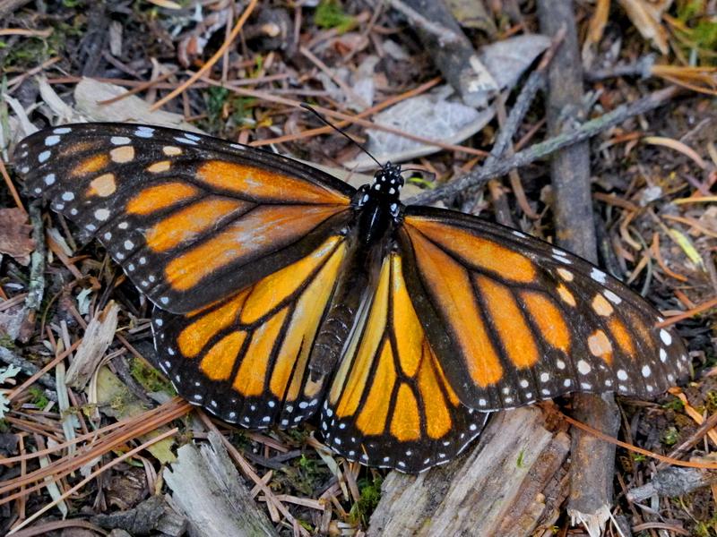 Mariposa monarca 3