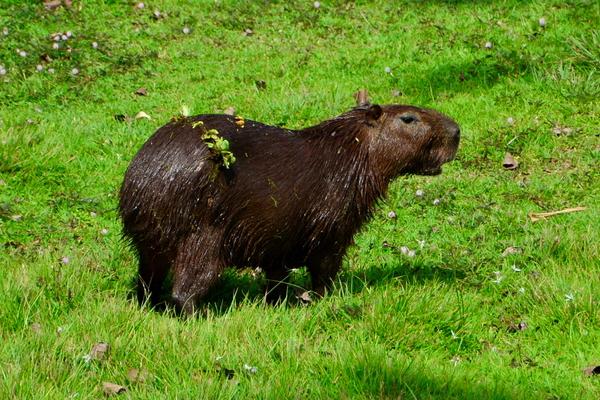 Capibara en Gamboa