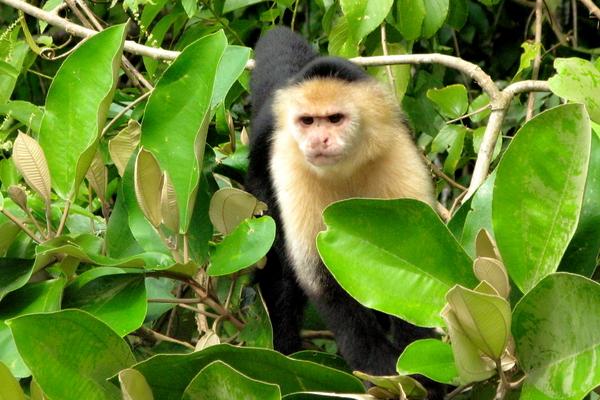 Mono en la selva que bordea el Canal